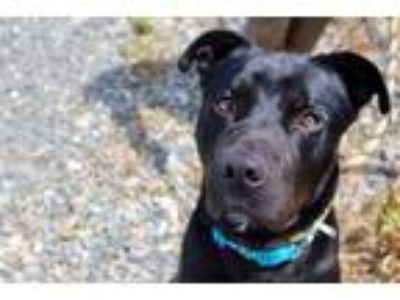 Adopt *Amber a Gray/Silver/Salt & Pepper - with White Pit Bull Terrier / Mixed