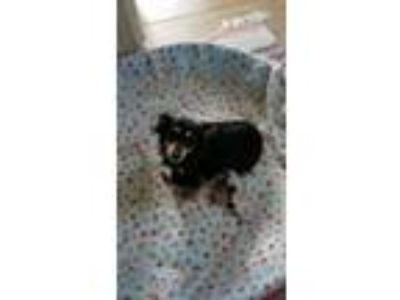 Adopt FANCY'S PUPPIES WILL BE READY AUGUST 1ST! 4~DACHSHUND/PAPILLON MIX (3F/1M)