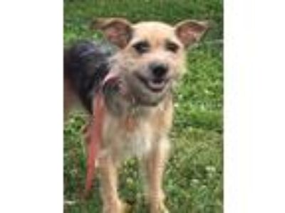 Adopt Ms. Ginger a Yorkshire Terrier, Welsh Terrier