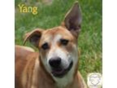 Adopt Yang a German Shepherd Dog, Husky