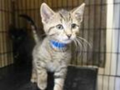 Adopt SNICKERS a Brown Tabby Domestic Shorthair / Mixed (short coat) cat in Fort