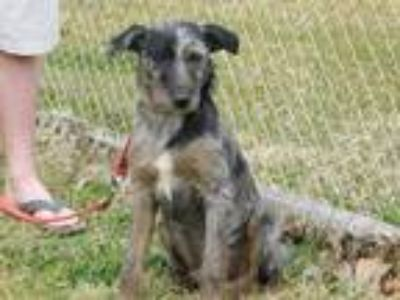 Adopt Griffon a Gray/Silver/Salt & Pepper - with Black Terrier (Unknown Type