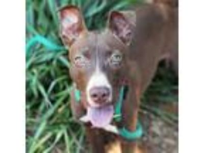 Adopt Buster a Brown/Chocolate Labrador Retriever / Bull Terrier / Mixed dog in