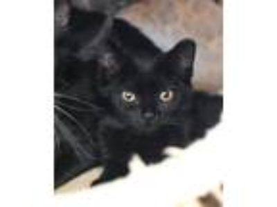 Adopt Berries a Domestic Shorthair / Mixed (short coat) cat in Lawrenceville