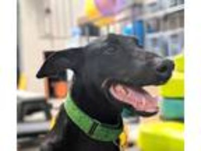 Adopt Oliver a Black - with Tan, Yellow or Fawn Doberman Pinscher / Mixed dog in