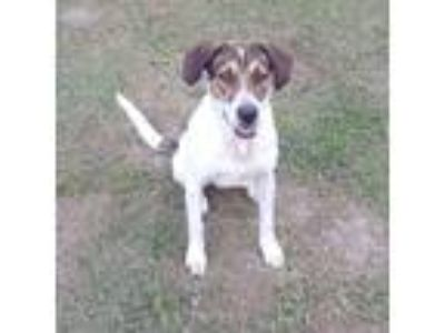 Adopt Speckles a Tricolor (Tan/Brown & Black & White) Shepherd (Unknown Type) /