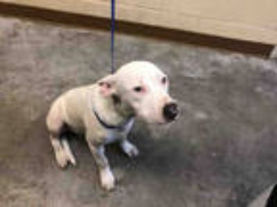 Adopt a White American Pit Bull Terrier / Mixed dog in Texas City, TX (25760511)