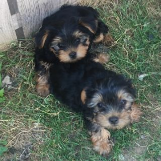 Yorkshire Terrier PUPPY FOR SALE ADN-89291 - Male Yorkies purebred