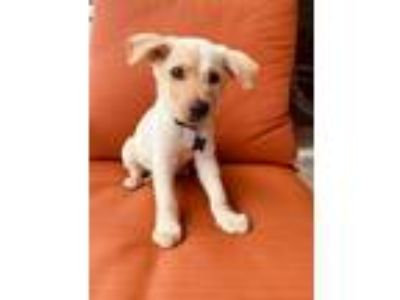 Adopt Terry a White German Shepherd Dog / Labrador Retriever / Mixed dog in