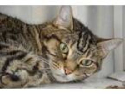 Adopt Mou a Tan or Fawn Domestic Shorthair / Domestic Shorthair / Mixed cat in