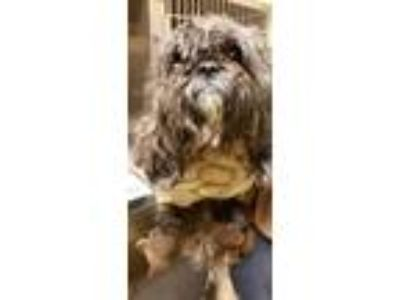 Adopt Morrison* a Gray/Blue/Silver/Salt & Pepper Shih Tzu / Mixed dog in