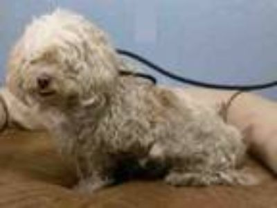 Adopt A1770360 a Poodle, Mixed Breed