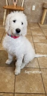 Goldendoodle PUPPY FOR SALE ADN-106353 - Goldendoodle Puppies REDUCED TO SELL
