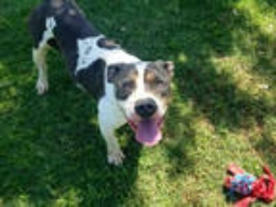 Adopt MAY a Black - with White American Pit Bull Terrier / Mixed dog in Texas