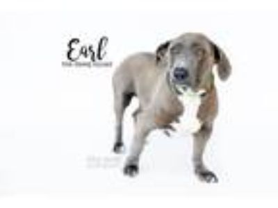 Adopt Earl a Gray/Silver/Salt & Pepper - with White Basset Hound / Pit Bull