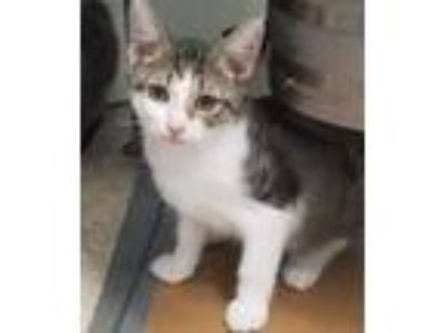 Adopt IMPULSE *COURTESY POST* a Spotted Tabby/Leopard Spotted Domestic Shorthair