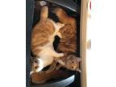 Adopt Fox & Pearl a Orange or Red (Mostly) Domestic Mediumhair / Mixed cat in