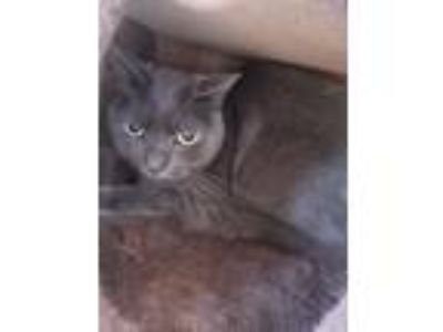Adopt Lucy a Domestic Short Hair, Russian Blue