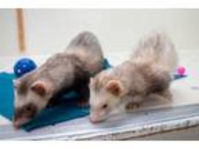 Adopt Larry and Roscoe a Ferret