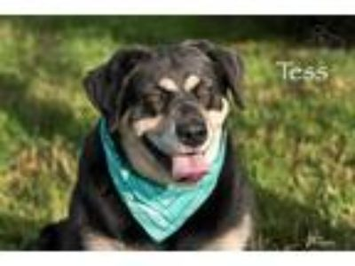 Adopt Tess a Black Shepherd (Unknown Type) / Mixed dog in Merriam, KS (25854192)