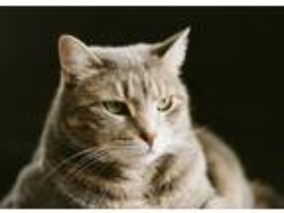 Adopt Olive a Gray, Blue or Silver Tabby Domestic Shorthair / Mixed cat in New