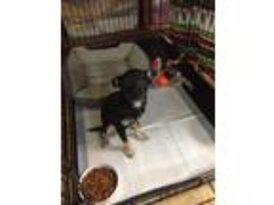 Adopt Bobo a Black - with Tan, Yellow or Fawn Terrier (Unknown Type