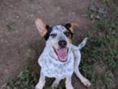 Adopt Winthrop a Rat Terrier