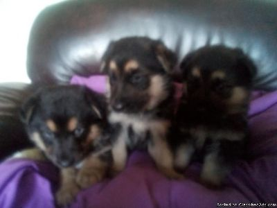 AKC German Shepherd puppy available.