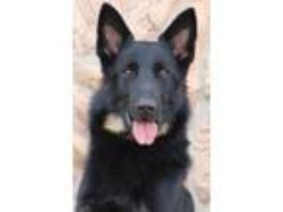 Adopt Sergeant von Salzen a Black - with Tan, Yellow or Fawn German Shepherd Dog