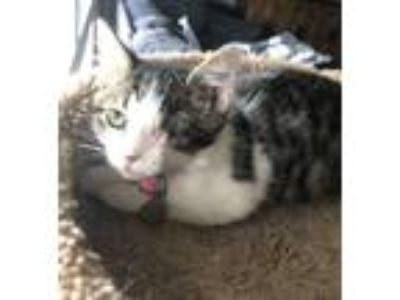 Adopt Elle Driver a Domestic Shorthair / Mixed cat in Westmont, IL (25921003)