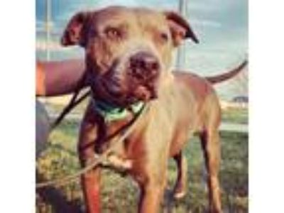 Adopt GRACIE a Staffordshire Bull Terrier, Bull Terrier