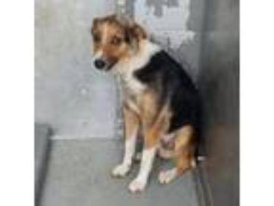 Adopt Shadow a Cattle Dog, Border Collie