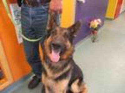 Adopt Khal a Black German Shepherd Dog / Mixed dog in Newton, KS (25291233)