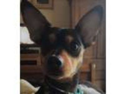 Adopt Bruno a Black - with Tan, Yellow or Fawn Miniature Pinscher / Mixed dog in