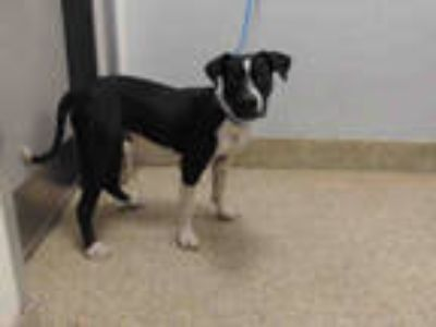 Adopt COKIE a Black - with White Labrador Retriever / Mixed dog in Doral