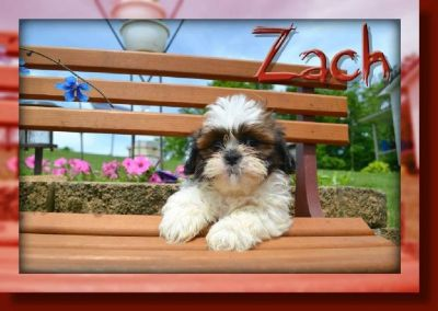 Zach Male Shihtzu