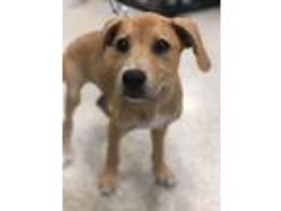 Adopt Centennial a Tan/Yellow/Fawn German Shepherd Dog / Labrador Retriever /