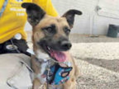 Adopt JOURNEY a Brown/Chocolate German Shepherd Dog / Mixed dog in Mesa