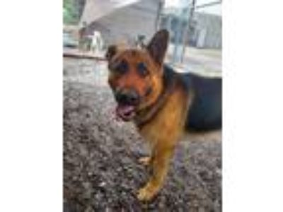 Adopt Sondel a German Shepherd Dog
