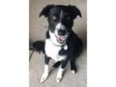 Adopt Jet a Black - with White Australian Shepherd / Border Collie / Mixed dog