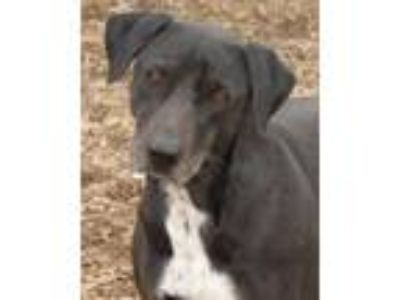 Adopt Roo a Black - with White Labrador Retriever / Mixed dog in Shelbyville