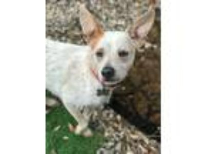 Adopt Roland a White - with Brown or Chocolate Cattle Dog / Mixed dog in