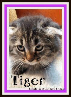 Tiger Female Scottish Kilt Mix