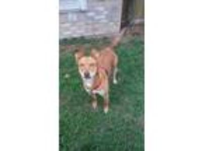 Adopt Ginger a Carolina Dog, Labrador Retriever
