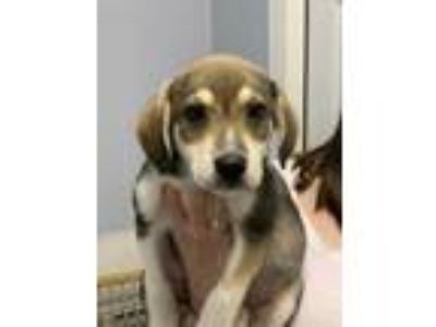 Adopt Crackle a Brown/Chocolate Husky / Hound (Unknown Type) / Mixed dog in