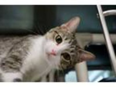 Adopt Tally a Domestic Short Hair