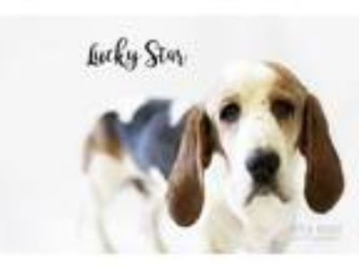 Adopt Lucky-Star a Tricolor (Tan/Brown & Black & White) Basset Hound / Mixed dog