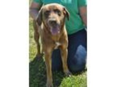 Adopt Squirrel a Labrador Retriever, Mixed Breed