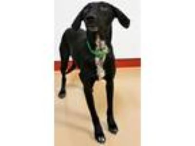 Adopt Bella a Border Collie, Labrador Retriever