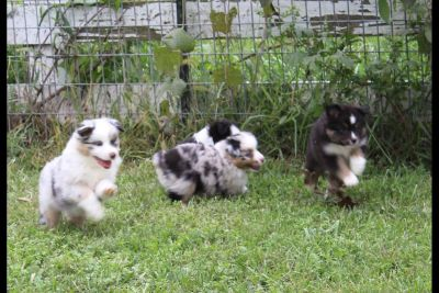 Miniature American Shepherd Puppies